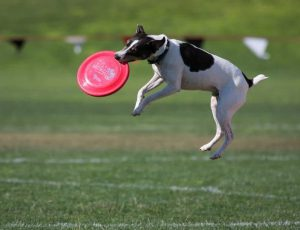 Jack Russel catching a red frisbee with all four feet off the ground