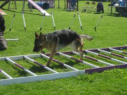 German Shepherd carefully picking his way through the rungs of a ladder on the ground