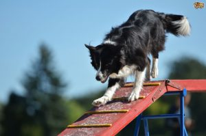Black and white Border collie on top of a agility ramp