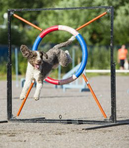 A Portuguese spaniel jumping through a hoop in an agility course