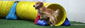 golden retriever coming out of an agility tunnel at top speed