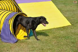 Black Lab coming out of a large agility tunnel