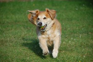 A smaller Golden retriever cross running with a tennis ball in his mouth