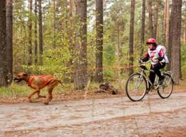 Bikejoring competitor being pulled by a brown dog in harness