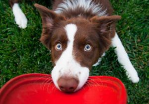 Brown and white Border collie holding onto a red Frisbee