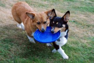 One sable and white Corgi and one Tri coloured Corgi both holding onto a blue frisbee