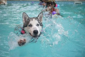swimming husky