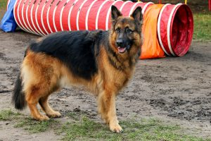 large black and tan german shepherd standing next to a red agility tunnel