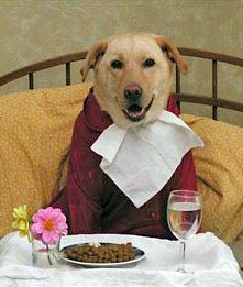Yellow Lab Retriever wearing a red jacket, a napkin tucked under chin, sitting in a cushioned chair, at a table set with a plate of dogfood and a glass of water