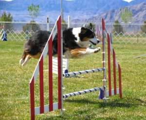 Large Tri colour Rough collie taking a flying leap over a 2 pole agility jump with room to spare