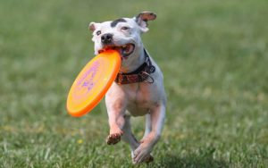 smaller Pit bull crossed dog running with a orange frisbee in his mouth