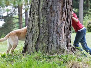 a Yellow Lab Retriever and a child are playing hide and seek around a large tree