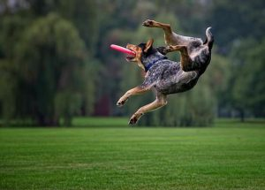 Blue Heeler catching a frisbee in mid air, twisting his body as he catches the frisbee