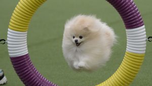 Cream coloured Pomeranian jumping through an agility hoop