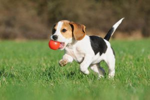 a Beagle retrieving a red ball