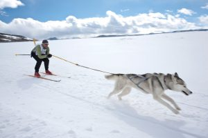 Skijoring competitor being pulled by a husky in harness