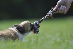 small brown and white dog pulling on a rope tug toy with a person