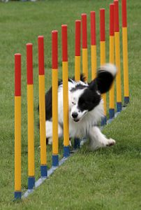 Black and white Border collie weaving between agility poles at top speed