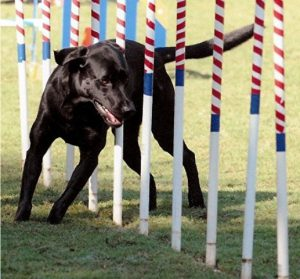 black lab retriever weaving through the agility poles