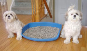 Two Shih Tzu X dogs, sitting on either side of a blue litter box