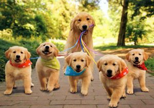 Golden Retriever mother walking her 5 puppies on leash