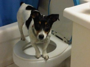 Jack Russel Terrier standing over a toilet seat