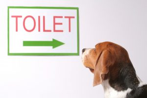 Beagle looking up at a sign that says toilet with an arrow pointing right