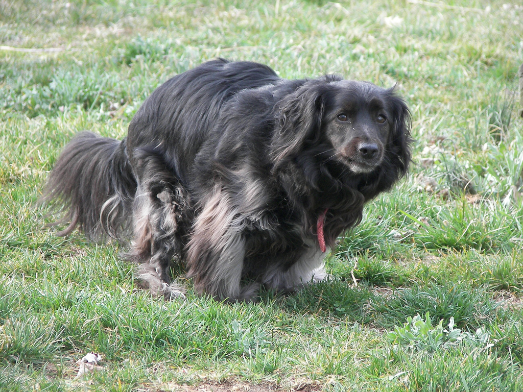 black long haired cocker spanial x in a defecating position