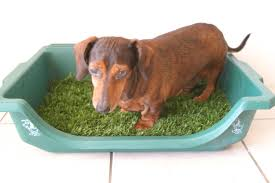 brown Dachshund standing in a turf covered litter box