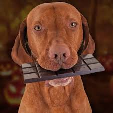 Brown Retriever holding a large chocolate bar in his mouth