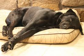 Chocolate Lab Retriever sleeping on a dog bed