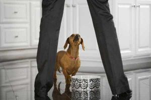 Dachshund standing in front of dog bowl with person standing over the dog bowl