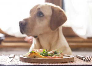 Yellow Lab Retriever sitting at a table with a home made plate of food in front of him.
