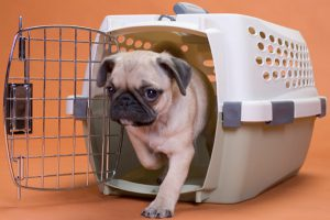 Pug puppy coming out of a plastic dog crate
