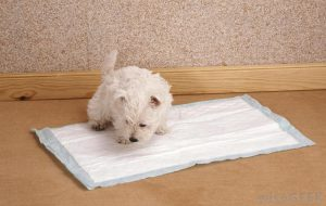 White terrier puppy peeing on a pee pad