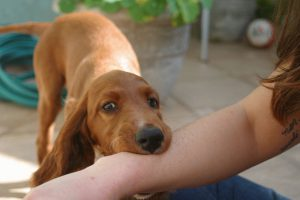 Young Spanial puppy grabbing a woman's arm with his teeth