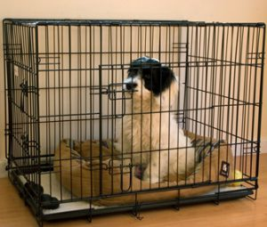 Black and white puppy sitting in a black wire dog crate