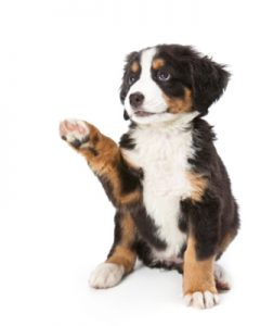 Bernese Mountain puppy sitting down with one paw in the air