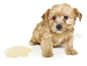 Tan coloured puppy sitting close to a puddle on the floor