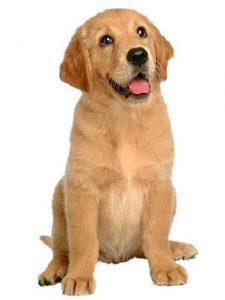 Golden Retriever puppy in a Sit position