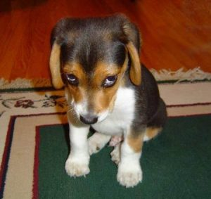Beagle puppy sitting on a area rug looking sad