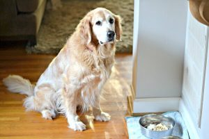 Older Golden Retriever in a Sit and Wait position in front of a bowl of food