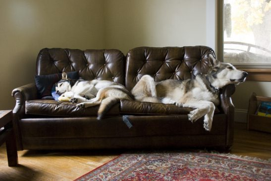 2 huskies sleeping on a brown leather couch