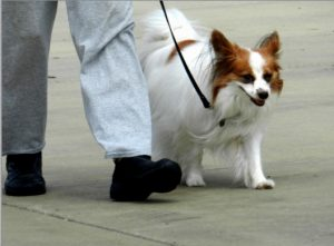 brown and white Papillion walking obediently in a heel position