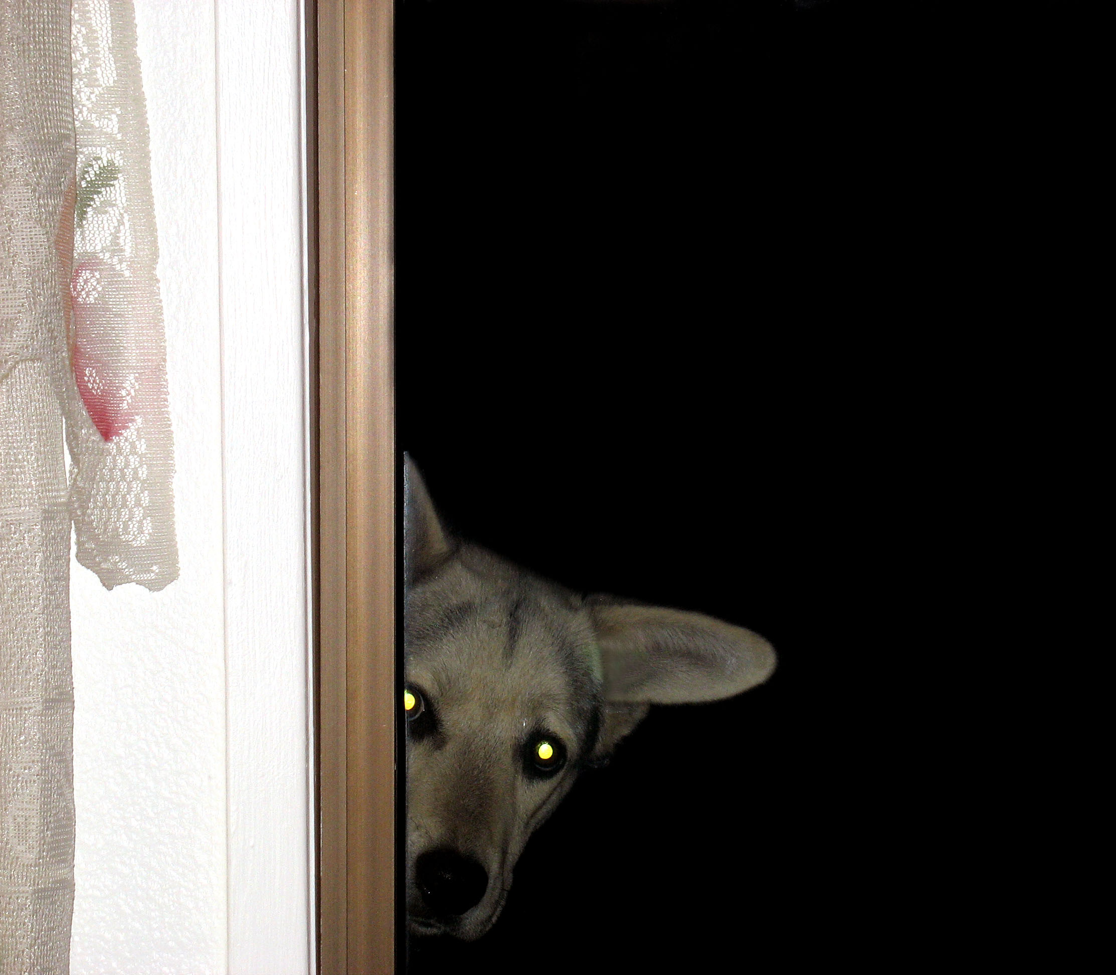 grey dog peeking around a doorway