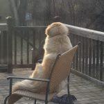 Golden Retriever X sitting on a bench