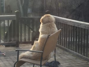 Golden Retriever X sitting on a bench