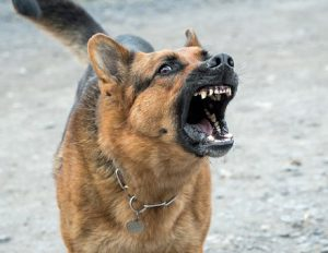 German Shepherd barking aggressively at the camera