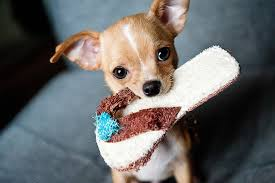 chihuahua with a slipper in his mouth