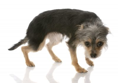 small black and grey Terrier standing in a fearful pose